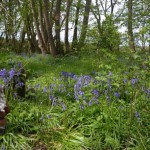 Bluebells in one of our woods
