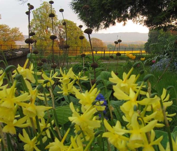 Daffodils at Upper Newton Farm
