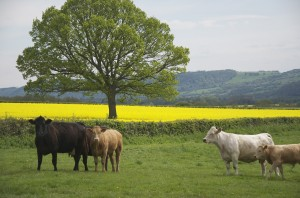 View across Golden Valley in May: Upper Newton Farm