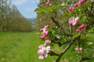 White Hall orchard - blossom time